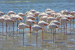 Flamingos resting in Walvis Bay, Namibia. All of them are exactly in the same position Royalty Free Stock Image