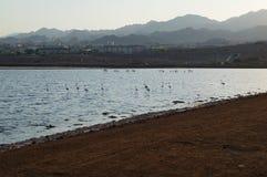 Flamingos rests in the birding park. Eilat, Israel - July 17 2018: Flamingos rests in the birding park stock images