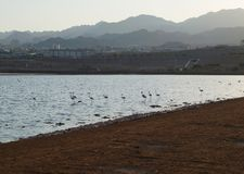 Flamingos rests in the birding park. Eilat, Israel - July 17 2018: Flamingos rests in the birding park stock photography