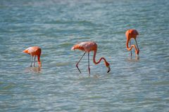Flamingos in Rio Coloradas on the north of Mexico. Pink lagoon near Valladolid and Merida in Mexico, famous spot for birdwatching stock photography