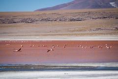 Flamingos in rotem Lagunenlaguna-colorada in abaroa Nationalpark stockfoto