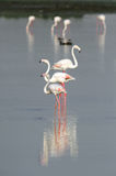 Flamingos in a row Stock Photos