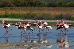 Flamingos running Royalty Free Stock Photo