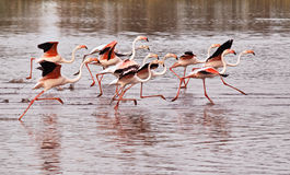 FLamingos running on water Stock Photography