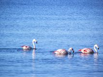 Flamingos sailing at the blue sea - Puerto Madryn/Argentina royalty free stock photo