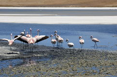 Flamingos in Salar de Uyuni Stock Photos