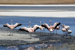 Flamingos in Salar de Uyuni stock image