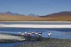 Flamingos in Salar de Uyuni Royalty Free Stock Image