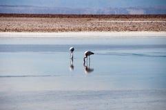 Flamingos in the Salt flat of Atacama Royalty Free Stock Photo