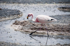 Flamingos in the Salt flat of Atacama (Chile) Royalty Free Stock Image