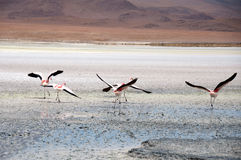 Flamingos in the Salt flat of Atacama (Chile) Stock Images