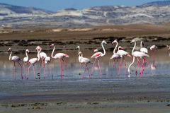 Flamingos at a salt lake. In Cyprus in late November Royalty Free Stock Images