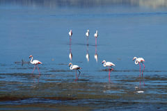 Flamingos at a salt lake. In Cyprus in late November Royalty Free Stock Photos