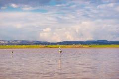 Flamingos at the salt lake of Larnaca, Cyprus Royalty Free Stock Photo
