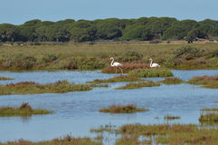Flamingos in the salt marsh stock photo