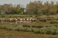 Flamingos in the salt marsh Stock Photo