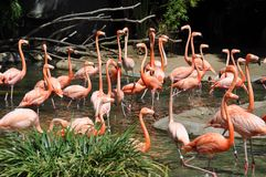 Flamingos at San Diego zoo. Beautiful and elegant flamingos at San Diego zoo Royalty Free Stock Photography