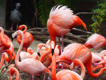 Flamingos at San Diego Zoo California. USA Royalty Free Stock Images