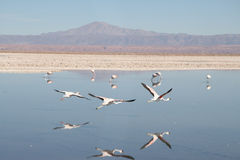 Flamingos at San Pedro de Atacama Stock Images