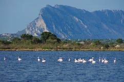 Flamingos in Sardinia stock photos