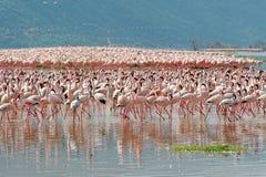 Flamingos, See Bogoria, Kenia stockbild