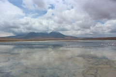 Flamingos selvagens em Laguna Capina - deserto de Atacama Fotografia de Stock Royalty Free