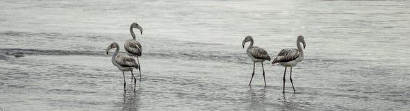 Flamingos. On the shore of the Kerkini Lake, Greece stock photography
