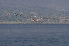 Flamingos. On the shore of the Kerkini Lake, Greece stock photos