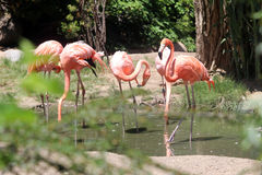 Flamingos Siezing the Day. Flamingos enjoying noon day in a pond, searching for food Stock Photos