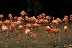 Flamingos, Singapore Stock Photography