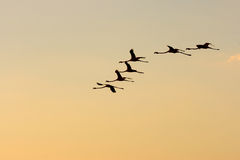 Flamingos in the sky. Silhouette of flamingos against the evening sky stock photo