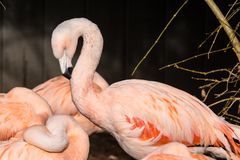 Flamingos in sleeping positions at Southern California Wild Animal Park. Three flamingos` necks and one head shown with beaks in feathers Royalty Free Stock Image