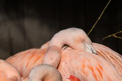 Flamingos in sleeping positions at Southern California Wild Animal Park. Three flamingos` necks and one head shown with beaks in feathers Stock Photos