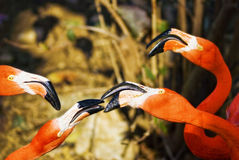 Flamingos social birds. Flamingos or flamingoes are a type of wading bird in the genus Phoenicopterus.  Flamingo is a sociable bird enjoys being in crowd, they Royalty Free Stock Photo
