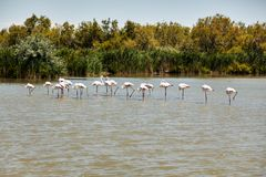 Flamingos  spotted in la Camargue. Flamingos  spotted in the National Park La Camargue in France during Month of July Stock Photography