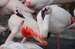 Flamingos squabbling Royalty Free Stock Photography