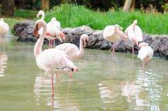 Flamingos stand on one leg. Horizontal photo Royalty Free Stock Photos
