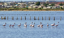 Flamingos standing in deep water with a township in the background Royalty Free Stock Photo