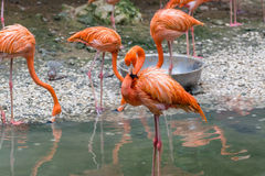 Flamingos standing in a lake Royalty Free Stock Photo