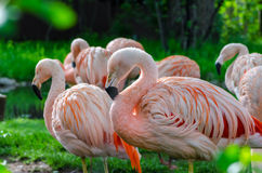 Flamingos standing in morning sunlight. Bright pink flamingos standing in morning sunlight against bright green grass Royalty Free Stock Photography