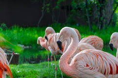 Flamingos standing in morning sunlight. Bright pink flamingos standing in morning sunlight against bright green grass Royalty Free Stock Image
