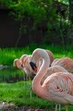 Flamingos standing in morning sunlight. Bright pink flamingos standing in morning sunlight against bright green grass Stock Photo