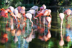 Flamingos standing in pond Royalty Free Stock Image