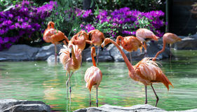 Flamingos standing in water of pond  Royalty Free Stock Photos
