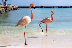 Flamingos am Strand Lizenzfreie Stockfotografie