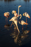 Flamingos at sunset in the Camargue , France Royalty Free Stock Photography