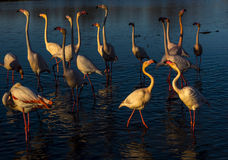 Flamingos at sunset in the Camargue , France Royalty Free Stock Photo