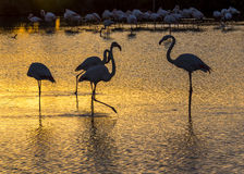Flamingos at sunset in the Camargue , France. Greater flamingos at sunset in the Camargue , France . Park ornithologique de pont de gau Royalty Free Stock Photography