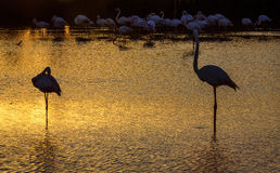 Flamingos at sunset in the Camargue , France Royalty Free Stock Images