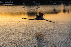 Flamingos at sunset in the Camargue , France Royalty Free Stock Photos